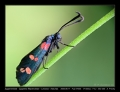29-Zygaena_filependulae.jpg